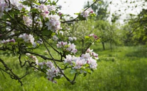 Traditional Orchards: Blossom in a Traditional Orchard at Barrington Court in Somerset