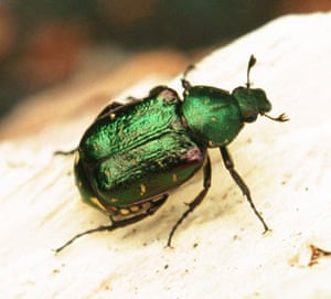 Traditional Orchards: The rare Noble Chafer beetle