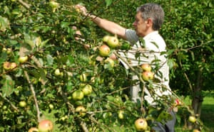 Traditional Orchards: Apples from the National Trusts Killerton Estate will soon be harvested