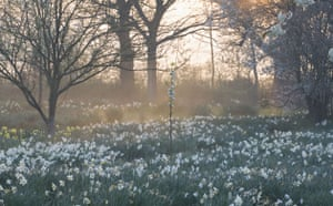 Traditional Orchards: Daffodils in the Orchard at Sissinghurst Castle Garden Kent.