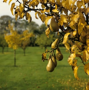 Traditional Orchards: Pears growing in the orchard in autumn at Hardwick Hall