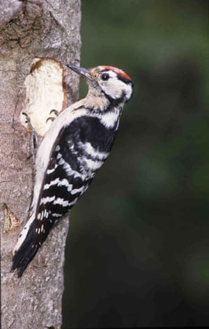 Traditional Orchards: Lesser spotted woodpecker