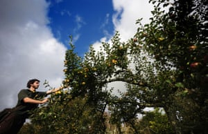 Traditional Orchards: Cotehele, the National Trust property near Saltash, Cornwall.