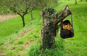 Traditional Orchards: A bag of apples at the old orchard at Cotehele, near Saltash, Cornwall