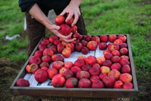 Traditional Orchards: Queens Stew apples at the old orchard at Cotehele, near Saltash, Cornwall.