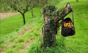 Traditional orchard: A bag of apples at the old orchard at Cotehele, Cornwall