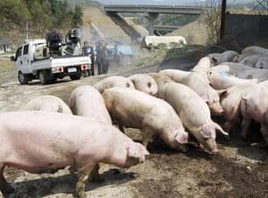 Swine Flu Outbreak: A South Korean disinfection truck sprays disinfectant at a pork farm