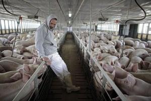 Swine flu La Gloria: Victor Calderon, General Director of Granjas Carroll de Mexico, with pigs.