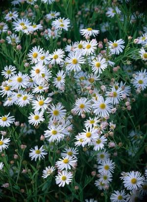 Gardens: Spring plants: Erigeron Annuus