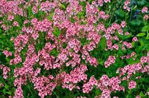 Gardens: Spring plants: Diascia personata