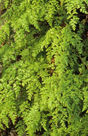 Gardens: Spring plants: Lygodium japonicum