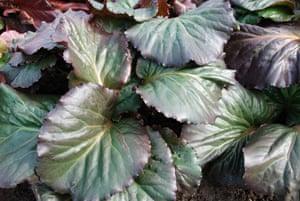 Gardens: Spring plants: Bergenia 'Eden's Magic Giant'