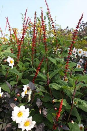 Gardens: Spring plants: Salvia confertiflora