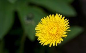 Week in Wildlife: Dandelion flower