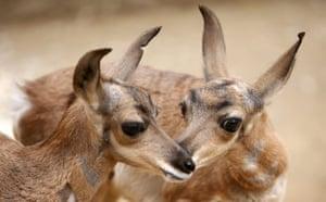 Week in Wildlife: LA Zoo Celebrates New Births, Including Rare Peninsular Pronghorns