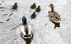 Week in Wildlife: Newborn ducklings swim alongside their mother in a park in Madrid