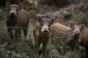 Week in Wildlife: Wild boar piglets in the Forest of Dean
