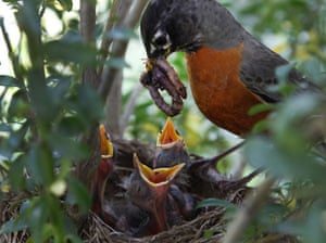 Week in Wildlife: A robin feeds young chicks