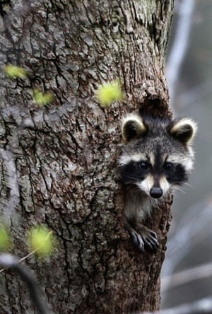 Week in Wildlife: A raccoon peers out from a hole Moreland Hills, Ohio