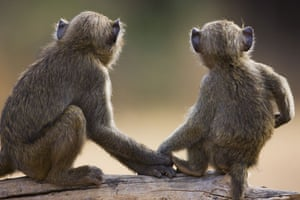 Week in Wildlife: Young Olive baboons holding hands