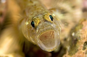 Underwater photography: Painted goby