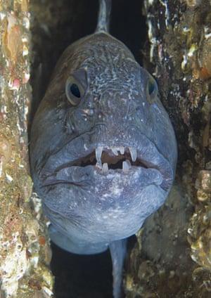 Underwater photography: Wolf fish
