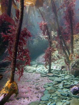Underwater photography: Kelp forest
