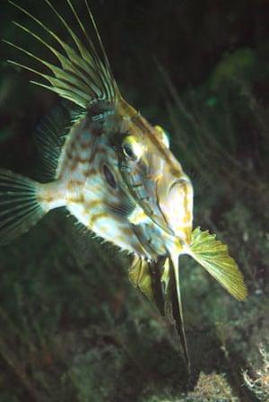 Underwater photography: John dory