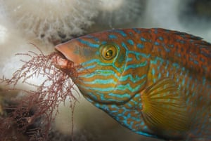 Underwater photography: Corkwing wrasse