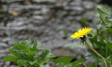 A Dandelion in the wild