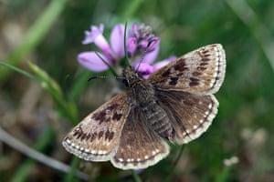 Butterflies in decline: Dingy skipper