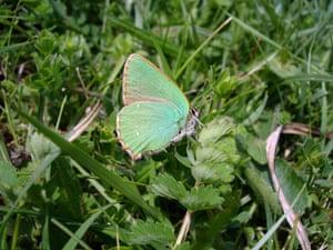 Butterflies in decline: Green hairstreak