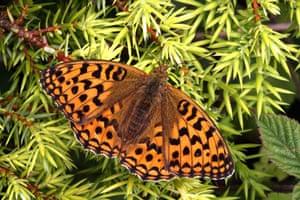 Butterflies in decline: High brown fritillary
