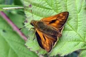 Butterflies in decline: Large skipper