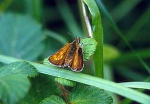 Butterflies in decline: Lulworth skipper