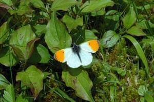 Butterflies in decline: Orange tip warburg