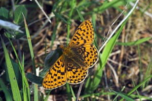 Butterflies in decline: Pearl-bordered fritillary