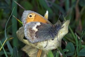 Butterflies in decline: Small heath