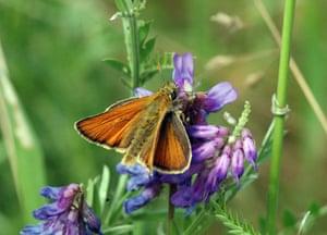 Butterflies in decline: Small skipper