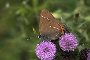 Butterflies in decline: White letter hairstreak