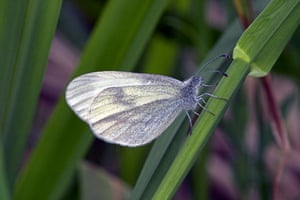 Butterflies in decline: Wood white