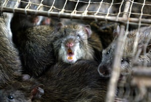 China animal markets: Field rats are kept inside a cage in Guangzhou, China