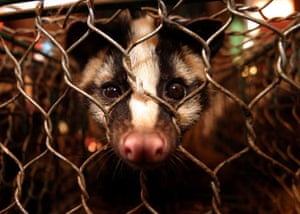 China animal markets: A masked palm civet on sale at the Xin Yu animal mark in Guangzhou, China.