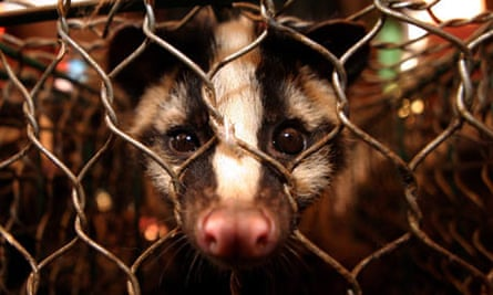 A masked palm civet on sale at the Xin Yu animal mark in Guangzhou, China.