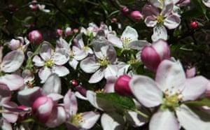 Week in wildlife: blossom, flowers on an apple tree Hoxne, Suffolk