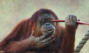 Adelaide zoo's orangutan Karta