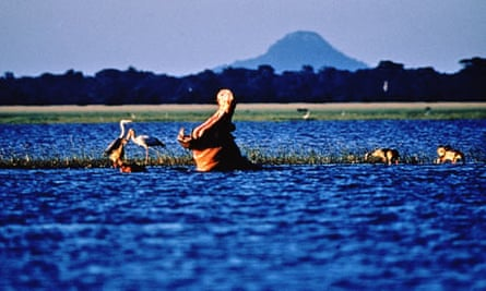 Hippopotamus in Gorongosa National Park Mozambique