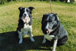 Overweight pets: 2009: An overweight border collie named Taz