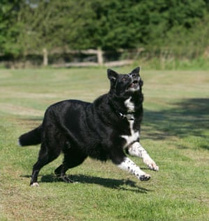 Overweight pets: Taz at council kennels having lost nearly 8 kilos