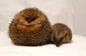 Overweight pets: 2007: George the hedgehog, who was placed on a crash diet